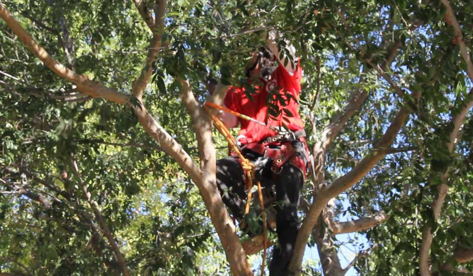Tree Pruning Services Phoenix